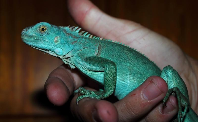 Blue Iguana For Sale : Bbc earth there is a hidden iguana on the galápagos and nobody
