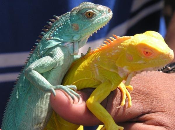 sareptiles view topic pretty green iguanas