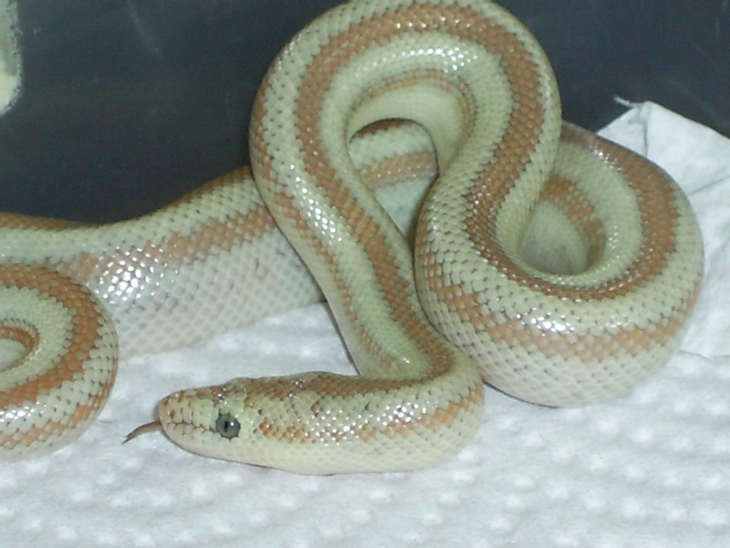 Sareptiles View Topic Ghost Rosy Boas