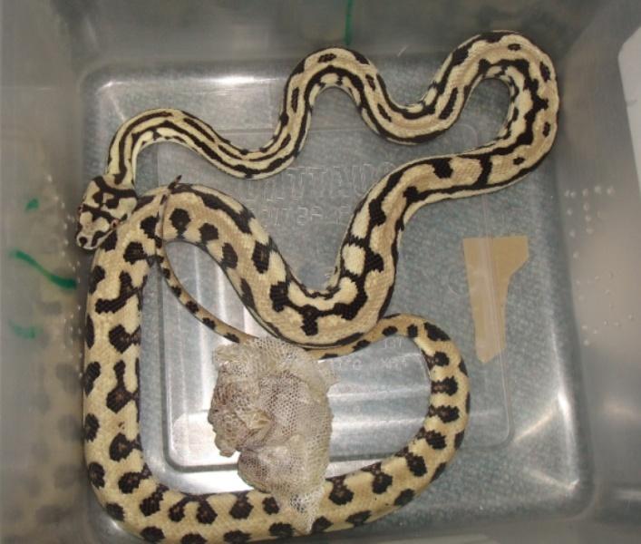 New Jungle-Jaguar Carpet Python