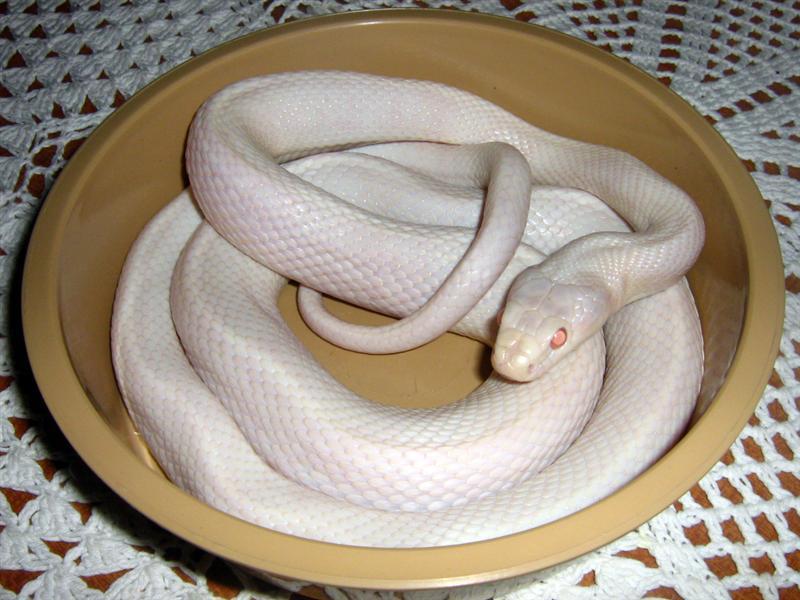 SAReptiles • View topic - Leucistic Texas rat snake Pair