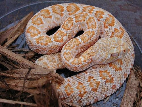 SAReptiles • View topic - What happens when little kids buy a rattle