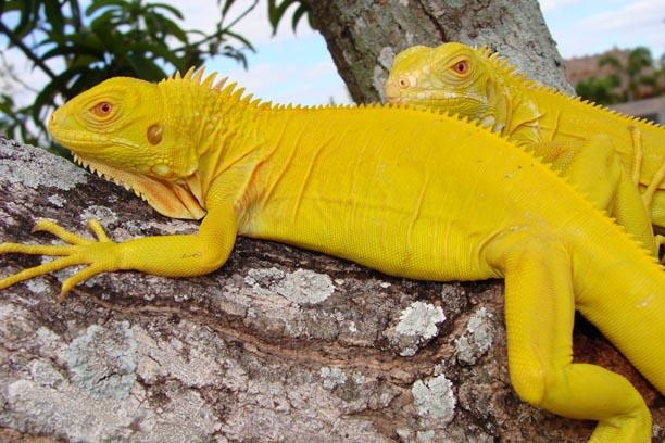 rainbow of green iguanas ians vivarium